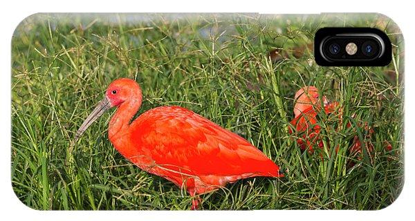 Ibis iPhone Case - Scarlet Ibis (eudocimus Ruber by Keren Su