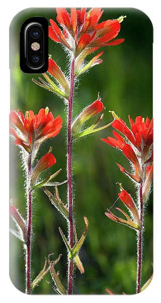 Scarlet Paintbrush iPhone Case - Scarlet Indian Paintbrush (castilleja Coccinea) by Bob Gibbons/science Photo Library