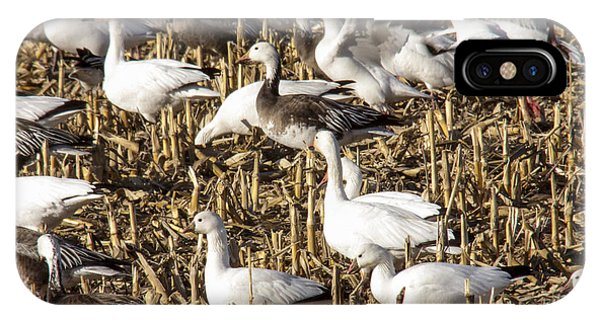 Snow And Ross's Geese Phone Case by Jill Bell