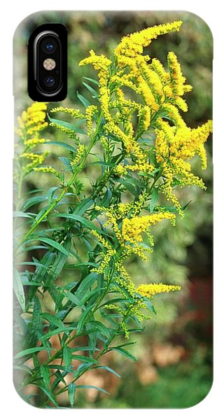 Golden Gardens iPhone Case - Solidago Canadensis by Tony Wood/science Photo Library