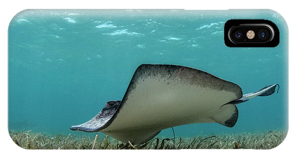 Barrier Reef iPhone Case - Southern Stingray (dasyatis Americana by Pete Oxford