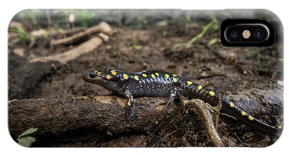 Salamanders iPhone Case - Spotted Salamander (ambystoma Maculatum by Pete Oxford