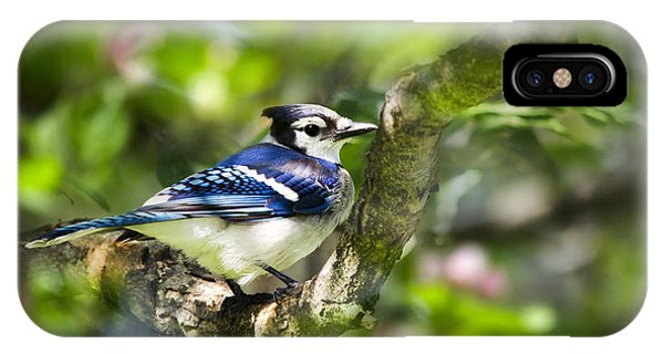 Spring Blue Jay IPhone Case