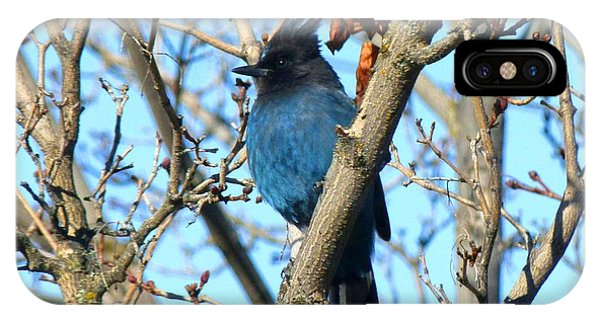 Steller's Jay In Winter IPhone Case