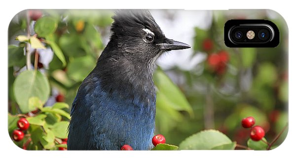 Steller's Jay And Red Berries IPhone Case