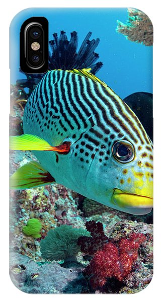 Ichthyology iPhone Case - Striped Sweetlips On A Reef by Louise Murray