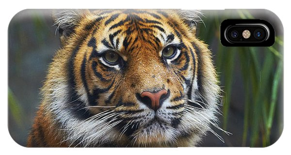 Martin iPhone Case - Sumatran Tiger by Martin Willis