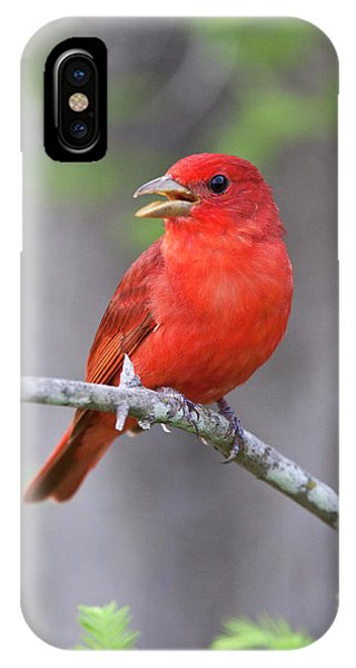 Scarlet iPhone Case - Summer Tanager (piranga Rubra by Larry Ditto