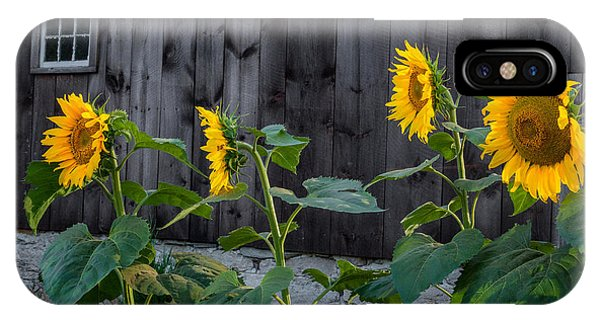 New England Barn iPhone Case - Sunflower Quartet by Bill Wakeley