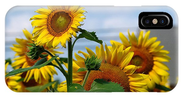 Sunflowers 1 2013 IPhone Case