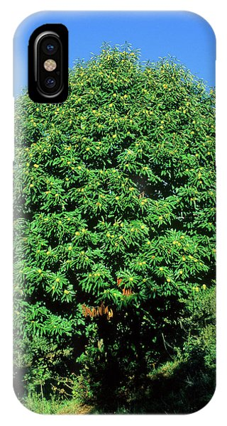 Sweet Chestnut Tree (castanea Sativa) Phone Case by Bruno Petriglia/science Photo Library