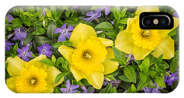 Horticulture iPhone Case - Three Daffodils In Blooming Periwinkle by Adam Romanowicz