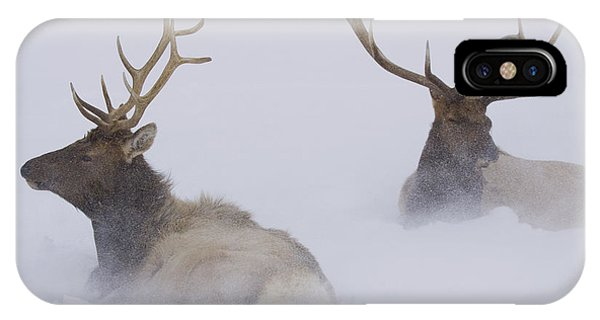 Winter iPhone Case - Two Bull Elk Lying In Deep Snow, Alaska by Doug Lindstrand