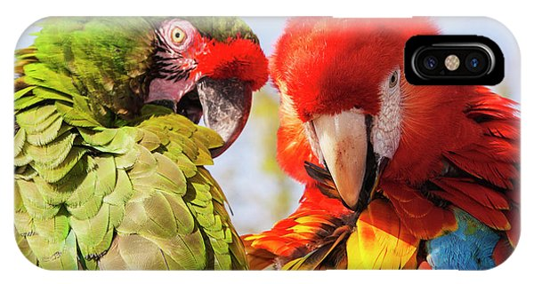 Scarlet iPhone Case - Two Macaws Preening by Piperanne Worcester