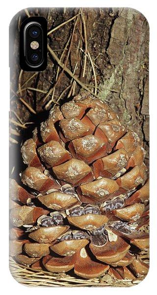 Umbrella Pine iPhone Case - Umbrella Pine Cone by Brian Gadsby/science Photo Library