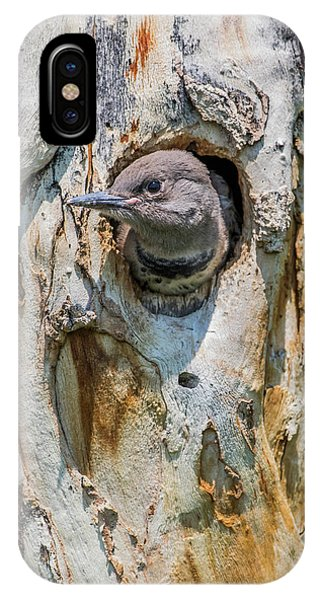 Northern Flicker iPhone Case - Usa, Wyoming, Female Northern Flicker by Elizabeth Boehm