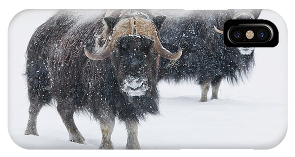 Winter iPhone Case - View Of A Pair Of Muskoxen Bulls by Doug Lindstrand