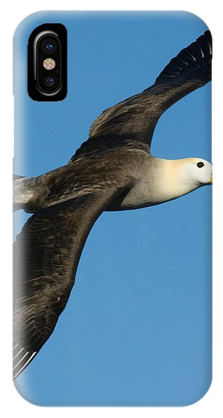 Albatross iPhone Case - Waved Albatross Diomedea Irrorata by Panoramic Images
