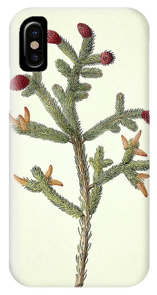 Spruce iPhone Case - White Spruce (picea Glauca 'moench Voss') by Natural History Museum, London/science Photo Library