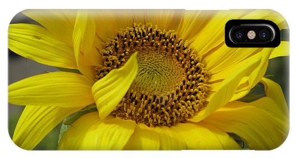 Windblown Sunflower Three IPhone Case