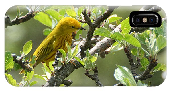 Yellow Warbler In Pear Tree IPhone Case