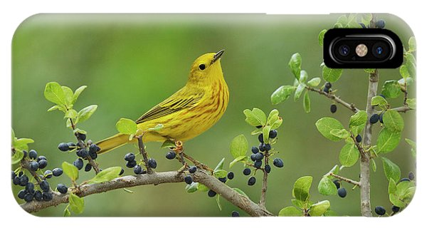 Blue Berry iPhone Case - Yellow Warbler Male Perched On Elbow by Rolf Nussbaumer