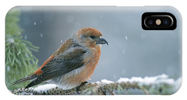 A Red Crossbill Loxia Curvirostra IPhone Case