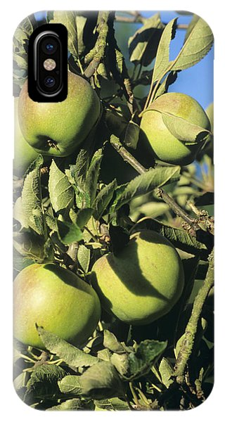 Apples Ripening On A Tree Phone Case by David Aubrey
