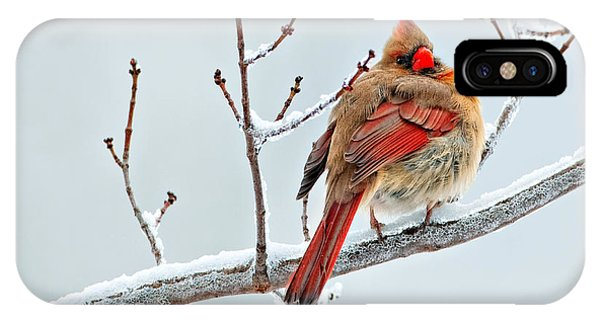 Cardinal I The Snow  IPhone Case
