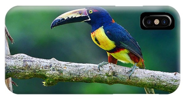 Collared Aracari IPhone Case