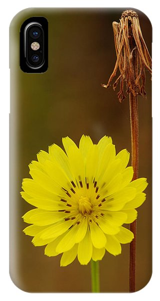 False Dandelion Flower With Wilted Fruit IPhone Case