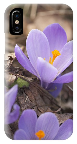First Crocus Blooms IPhone Case