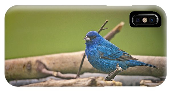 Bunting iPhone Case - Indigo Bunting by Susan Capuano