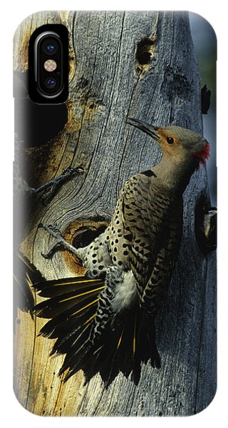 Northern Flicker iPhone Case - Northern Flickers Fight Over Nesting by Michael S. Quinton