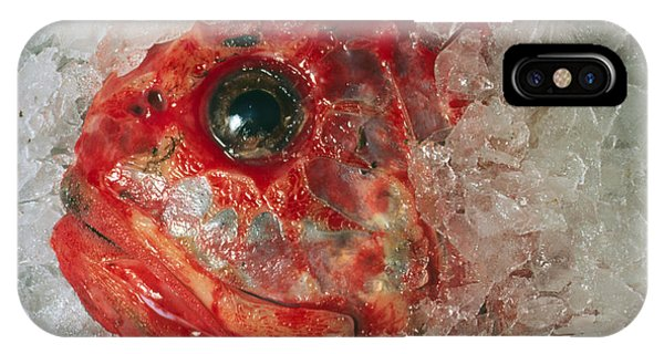 Orange Roughie Packed In Ice After Being Caught IPhone Case