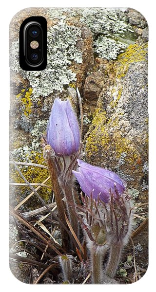 Pasque Flowers IPhone Case