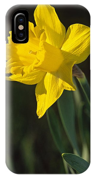 Trumpeting Daffodil IPhone Case