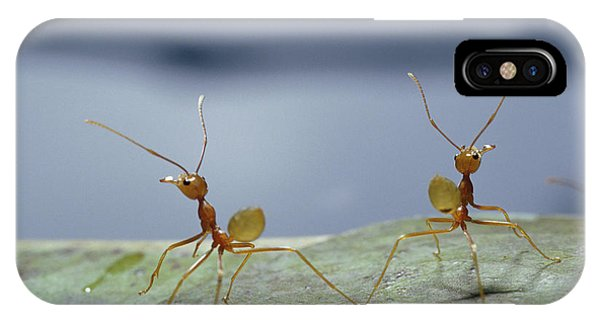 Far North Queensland iPhone Case - Two Green Tree Ants Standing by Jason Edwards
