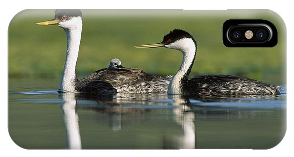 Western Grebe Couple With One Parent IPhone Case