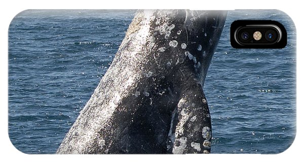 Breaching Gray Whale In Dana Point IPhone Case