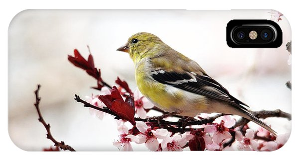American Goldfinch In Spring IPhone Case