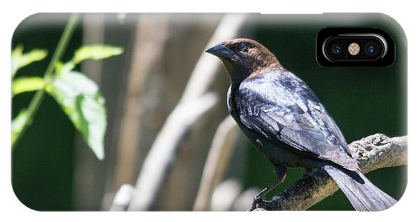 Brown-headed Cowbird IPhone Case