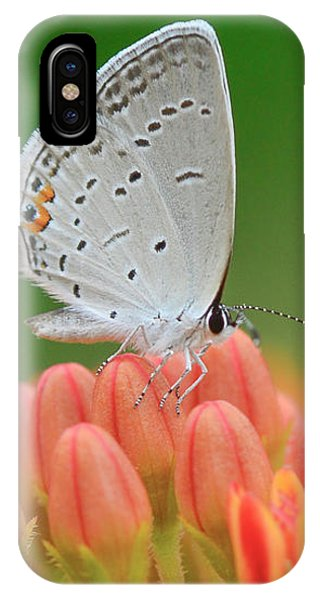 Eastern Tailed Blue On Butterfly Weed IPhone Case
