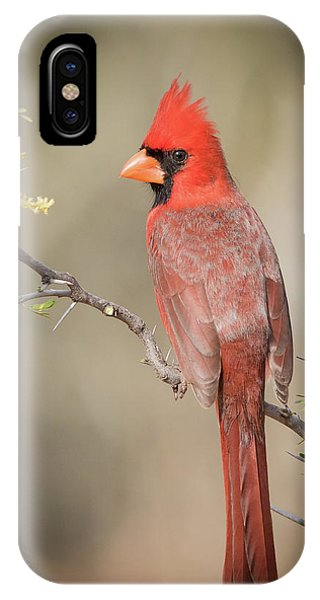 Northern Cardinal Cfh17765 IPhone Case