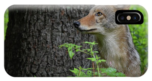 Early Morning Coyote In Maine IPhone Case