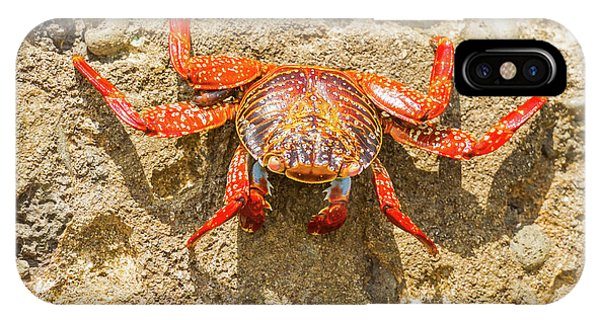 Sally Lightfoot Crab On Galapagos Islands IPhone Case
