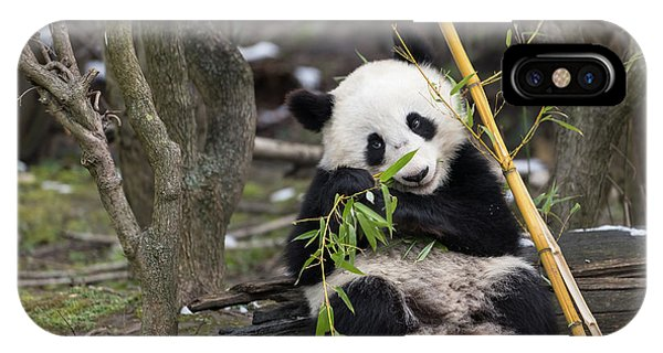 Wildlife Er iPhone Case - A Young Giant Panda Sitting And Eating Bamboo by Stefan Rotter