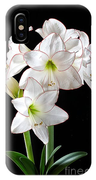 Amaryllis 'picotee' IPhone Case