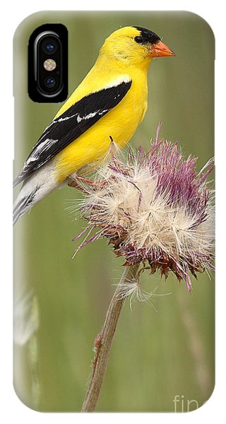 American Goldfinch On Summer Thistle IPhone Case