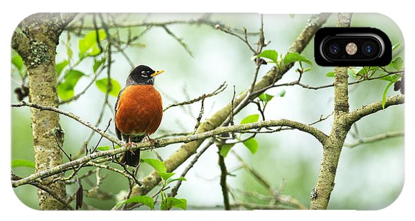 American Robin On Tree Branch IPhone Case